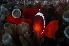 脊椎面颊Anemonefish在印度尼西亚 库存图片
