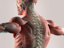 脊椎 免版税库存照片