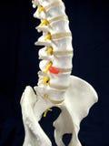 脊椎 库存照片
