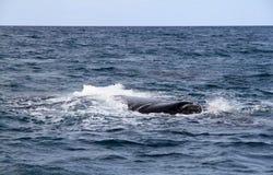 脊美鲸在大西洋。 图库摄影