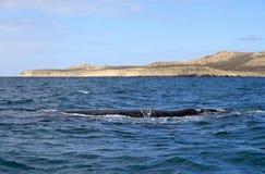 脊美鲸在大西洋。 Puerto Piramides。 免版税库存照片