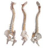 脊髓的列 图库摄影