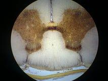 脊髓绳子的横剖面 库存图片