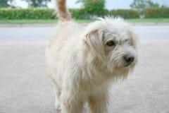 脏狗站立的白色棕色颜色 库存图片