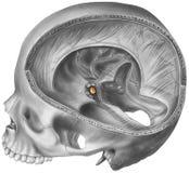 脑下垂体-显露地点的头骨&脑子切面图 皇族释放例证