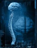 脑子和脊椎 免版税库存图片