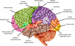 脑子地区 库存照片