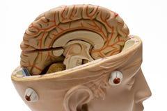 脑子接近的人力视图 免版税库存图片