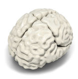 脑子模型 库存图片