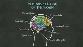 脑子的手写人的'中点部分'在黑板 库存例证