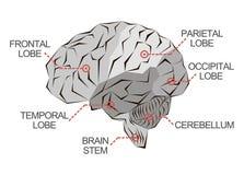脑子的解剖学在黑白照片的 库存例证