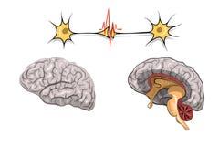 脑子的解剖学 库存图片