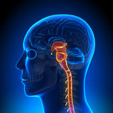 脑子解剖学-脊髓 免版税库存照片
