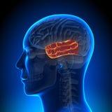 脑子解剖学-颞叶 免版税库存照片