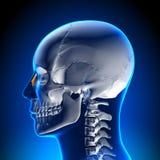 脑子解剖学-鼻骨 免版税图库摄影