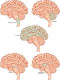 脑子零件 图库摄影