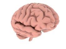 脑子 库存图片