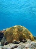 脑珊瑚在加勒比海 免版税库存照片