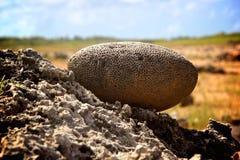 脑珊瑚近的愿望岩石庭院阿鲁巴 免版税库存照片