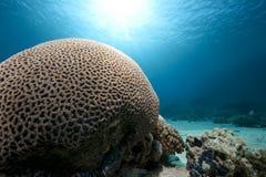 脑珊瑚 免版税库存图片