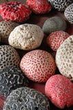 脑珊瑚 免版税库存照片