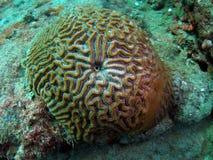 脑珊瑚 库存图片