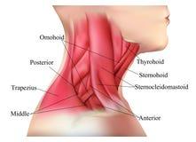 脖子肌肉的解剖学 图库摄影