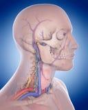 脖子解剖学 免版税库存照片