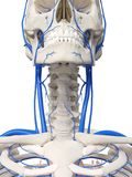 脖子静脉 库存例证