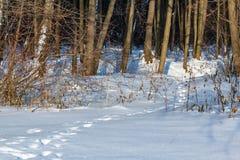 脚印链子在雪的在森林里 免版税库存图片