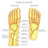 脚的动脉 皇族释放例证
