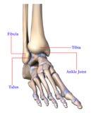 脚骨头解剖学  库存例证