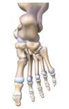 脚骨头解剖学 皇族释放例证