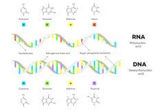 脱氧核糖核酸和核糖核酸分子结构  Infographic教育传染媒介例证 免版税库存照片