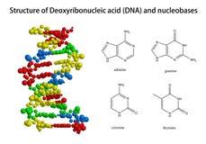 脱氧核糖核酸和相关nucleobases结构  库存图片