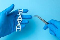 脱氧核糖核酸螺旋研究 基因实验的概念在人的生物代码脱氧核糖核酸的 拿着脱氧核糖核酸螺旋和镊子的科学家 库存照片