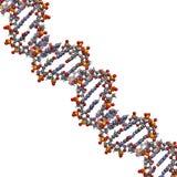 脱氧核糖核酸结构, B-DNA形式 免版税库存照片
