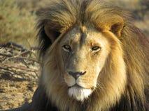 满脸是疤的狮子 免版税库存图片