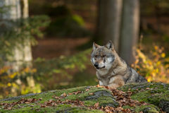 满脸是疤的狼 免版税库存图片