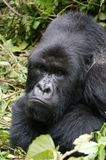 脾气坏的大猩猩大猩猩 库存图片
