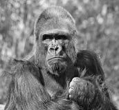 脾气坏的大猩猩 库存照片