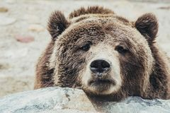 脾气坏的棕熊 库存图片
