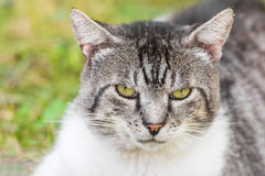 脾气坏的猫画象 免版税库存照片
