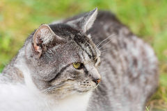 脾气坏的猫画象 免版税图库摄影