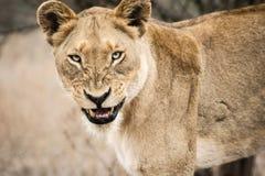 脾气坏的雌狮 免版税库存图片