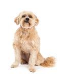脾气坏的马尔他和长卷毛狗混合狗开会 库存图片