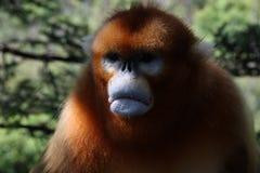 脾气坏的猴子不看起来愉快 免版税库存照片