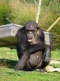 脾气坏的猴子 免版税库存照片