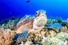 脾气坏的绿海龟 免版税库存图片