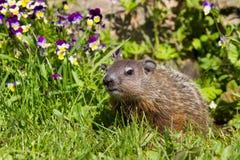 脾气坏的groundhog 免版税库存照片